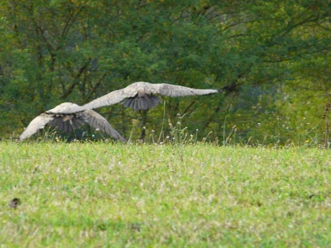 vautour Vautou11