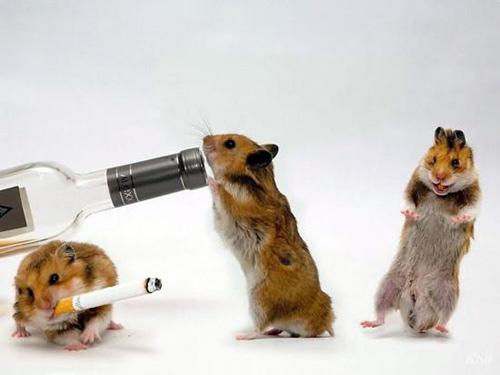 Hamsters siêu quậy 1a1c1110