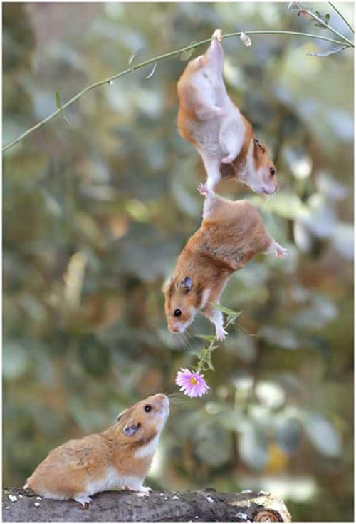 Hamsters siêu quậy 75f18b10