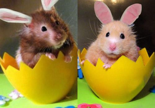 Hamsters siêu quậy A8b8b310