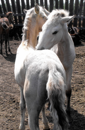 Possible Silver Andalusian 2010_014