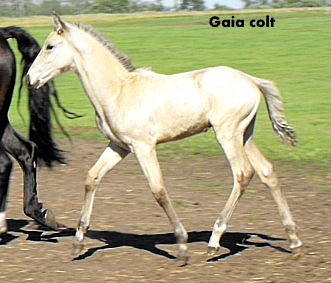 Possible Silver Andalusian 2010_017