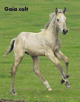 Possible Silver Andalusian 2010_018