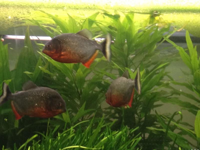 aquarium 360L brut piranhas Img_0210