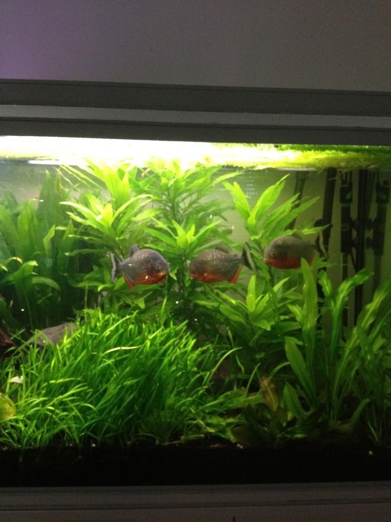 aquarium 360L brut piranhas Img_0213