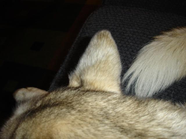 Husky Coat Colors Dsc08714