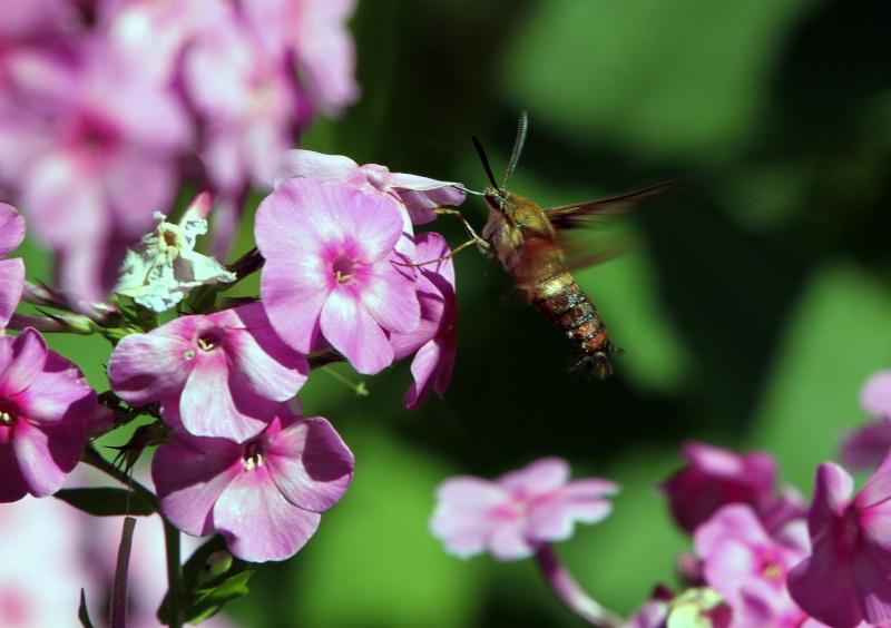 Sphinx colibri! Img_0510