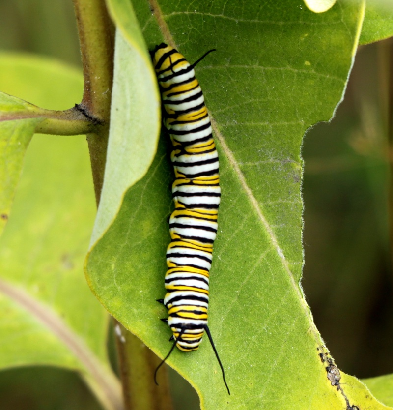 Monarque : chenille et papillon Img_0918
