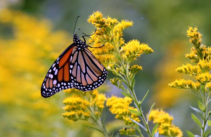 Monarque : chenille et papillon Img_1011