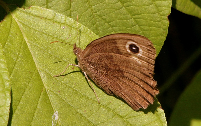 Papillon - ID SVP Img_1312