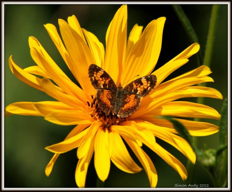 Croissant nordique (papillon) Img_1710