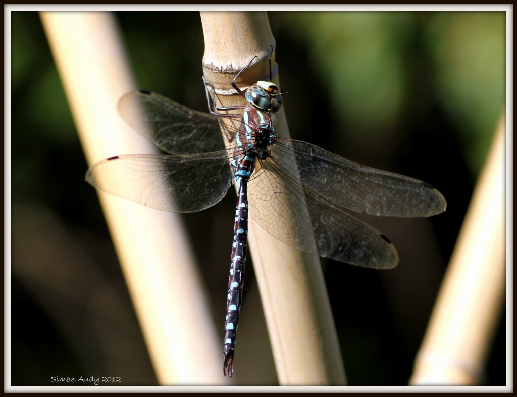 Une autre belle grosse libellule! Img_2015
