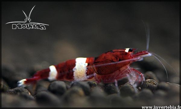la différence entre une crevette et un crevette malformées Redwin11