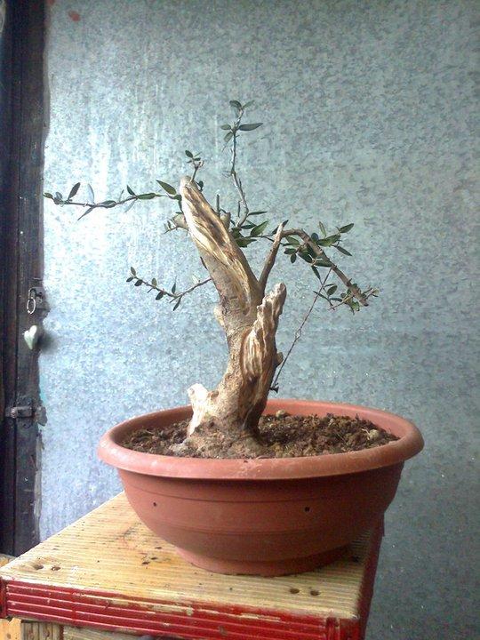 l'olivo del mio amico 16471611