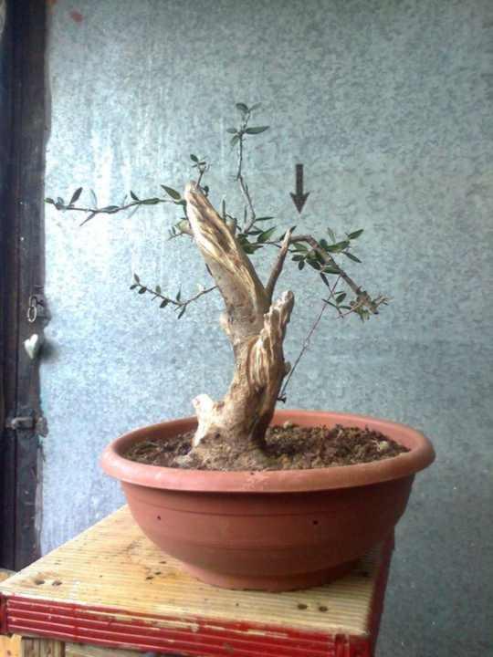 l'olivo del mio amico 16471612