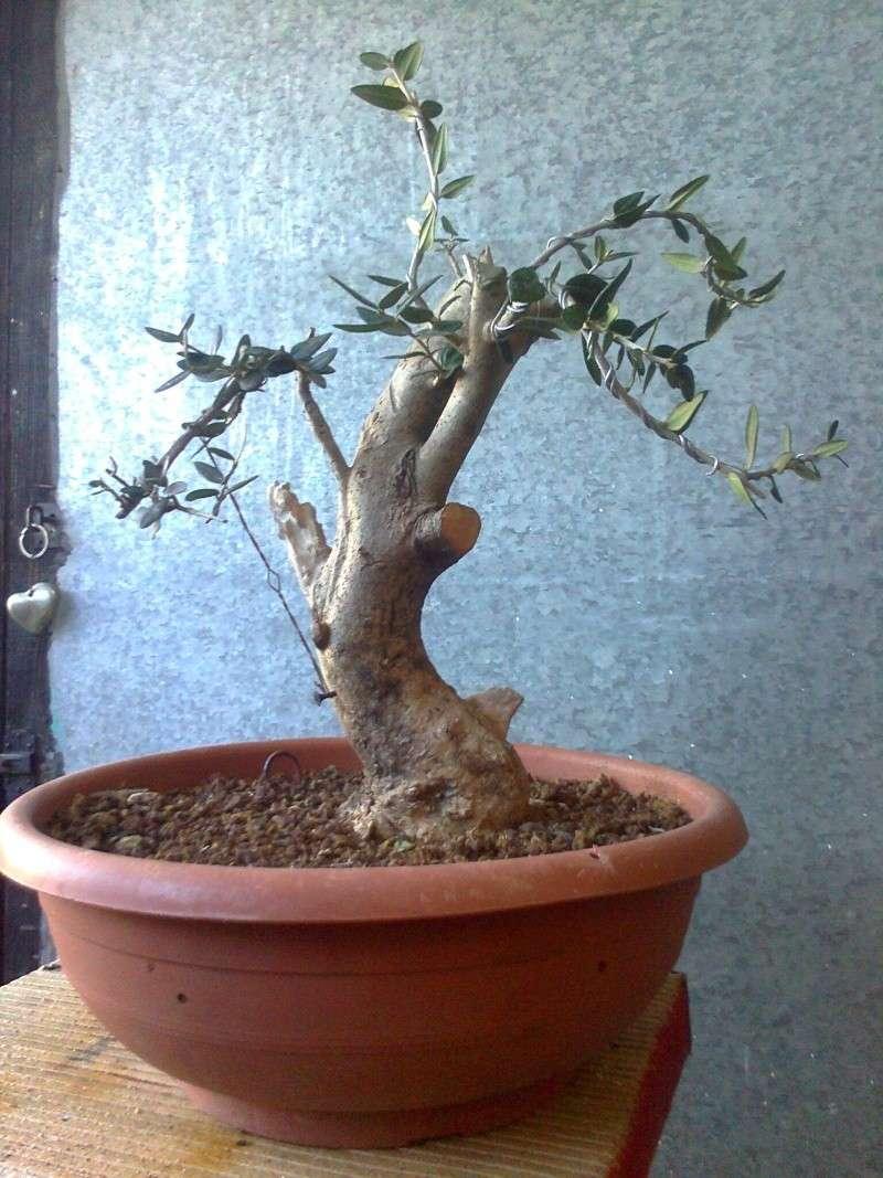 l'olivo del mio amico Yamado10