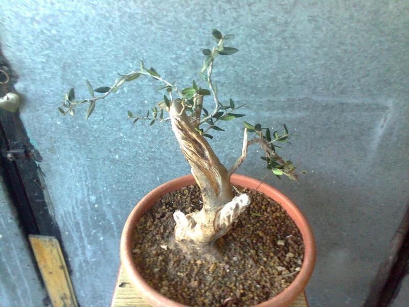 l'olivo del mio amico Yamado12