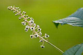 Phytolacca americana - raisin d'Amérique 320px-10