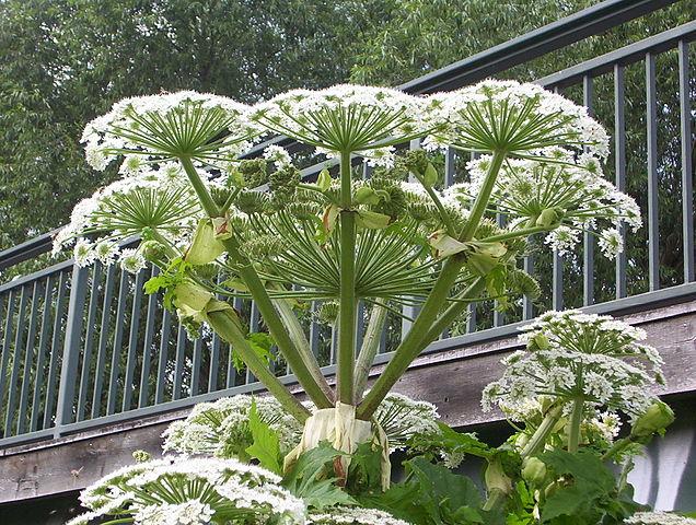 Heracleum mantegazzianum  - berce du Caucase 636px-10