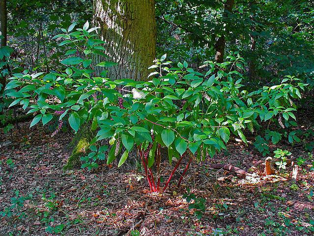 Phytolacca americana - raisin d'Amérique 639px-10