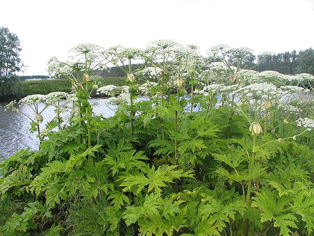 Heracleum mantegazzianum  - berce du Caucase 640px-10