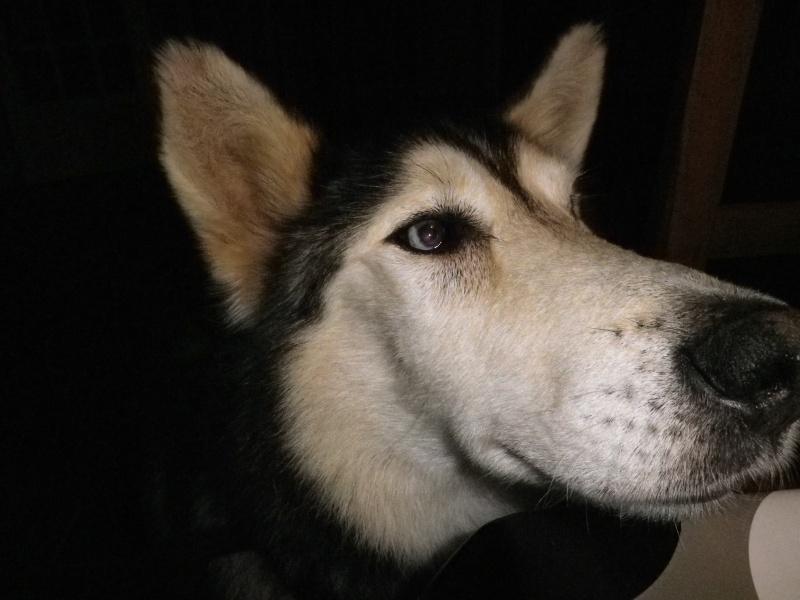 ALASKA (ex)LOUIS husky a l'attache depuis des années (m) 8 ans ref/79DECEDE     - Page 4 03310