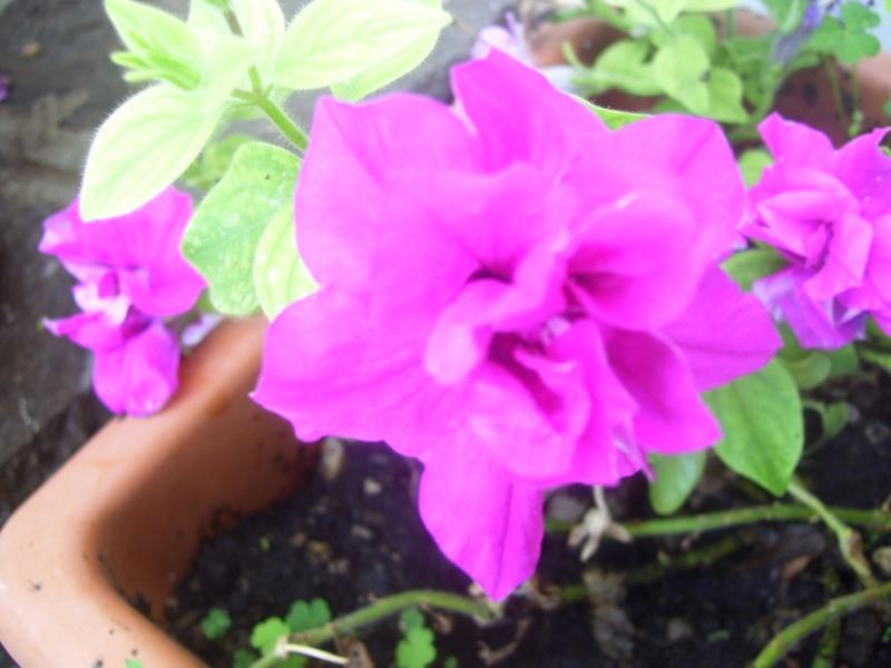 le piante del mio giardino Fiori_16