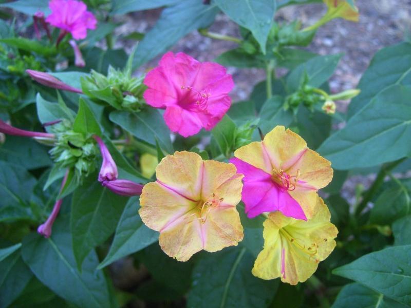 le piante del mio giardino Fiori_21