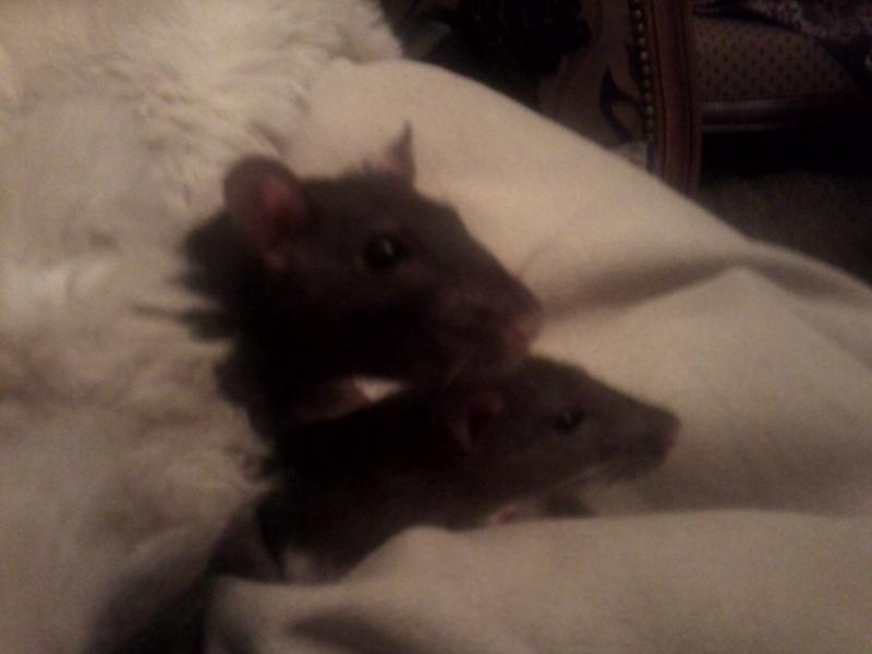 Cherche une jeune ratte Photo010