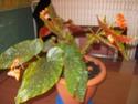 bégonia en fleur Imgp0810