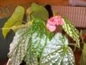 bégonia en fleur Imgp0811