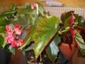 bégonia en fleur Imgp0812