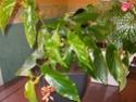 bégonia en fleur Imgp0814