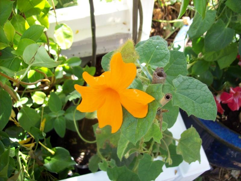 Quelques thunbergia en fleurs en ce moment Thunbe17