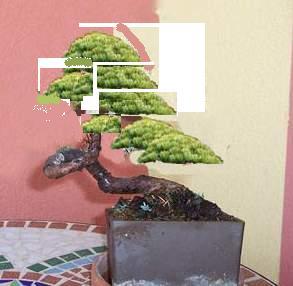 Ginepro procumbens Procum11