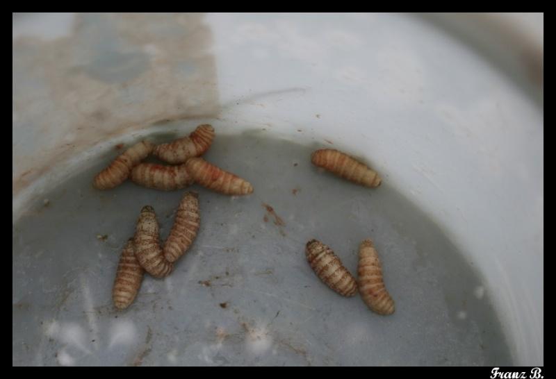 œstres, parasitose courante chez le chevreuil.... Img_8822