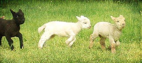 les Baby Dolls Sheep 10-lam10
