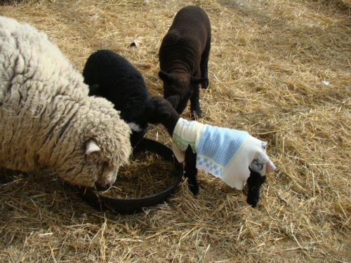 les Baby Dolls Sheep 12254510