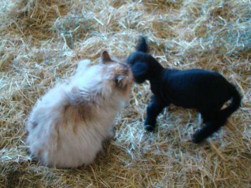 les Baby Dolls Sheep 12254511