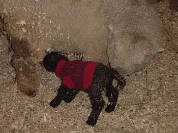 les Baby Dolls Sheep 20060011