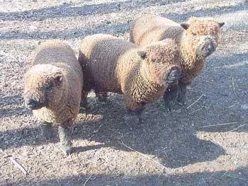 les Baby Dolls Sheep 3girls10