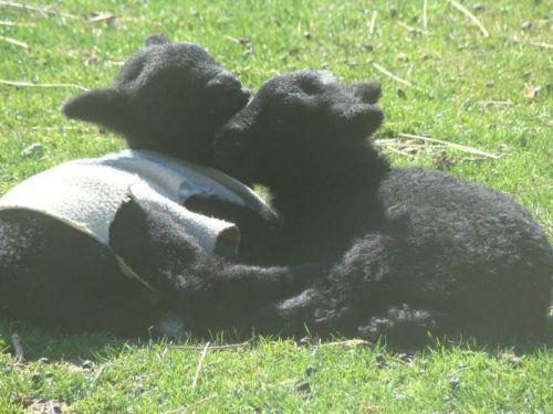 les Baby Dolls Sheep Babies10