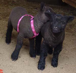 les Baby Dolls Sheep Black410