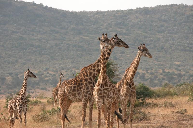 Giraffe Dscn2811