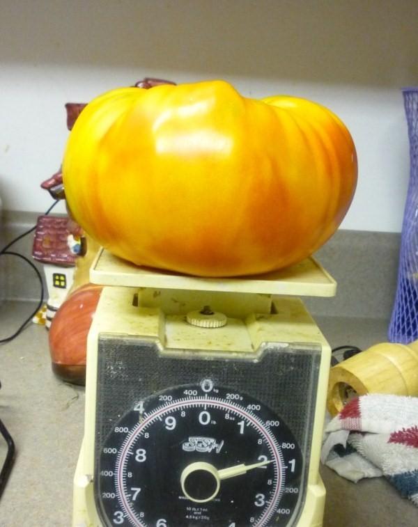 My bragging tomatoes -(Boffer, beware) 00512