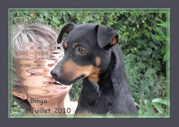 Bingo - croisé pinscher - 2 ans - adoptable Suisse et France   CLASSEE Bingo_10