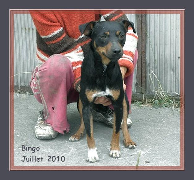 Bingo - croisé pinscher - 2 ans - adoptable Suisse et France   CLASSEE Bingo_12
