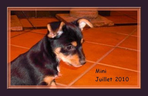 Décédé - Mini minuscule chiot de 3 mois - croisé pinscher - Adoptable en Suisse, France,... Mini_110