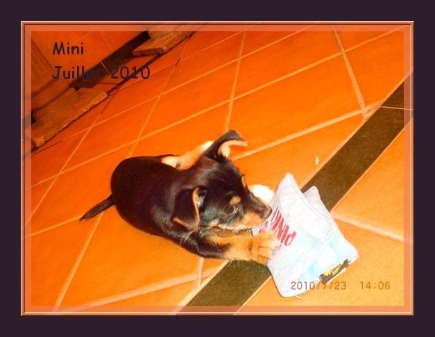Décédé - Mini minuscule chiot de 3 mois - croisé pinscher - Adoptable en Suisse, France,... Mini_210