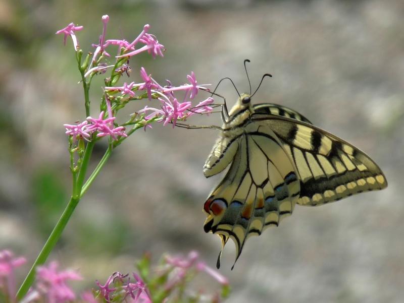 beau papillon P1070910